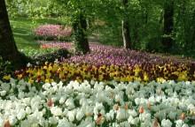 Pralormo 2 tulipani
